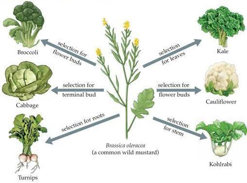 selective breeding in plants